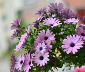 Light purple daisy flower close-up Stock Photo
