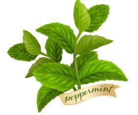 Peppermint green leaves illustration vector 01