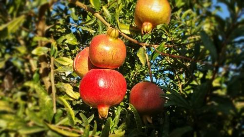 Pomegranate on a branch Stock Photo 01