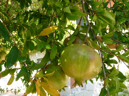 Pomegranate on a branch Stock Photo 02