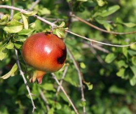Pomegranate on a branch Stock Photo 03