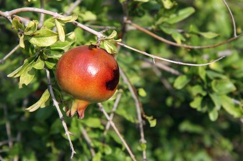 Pomegranate on a branch Stock Photo 03