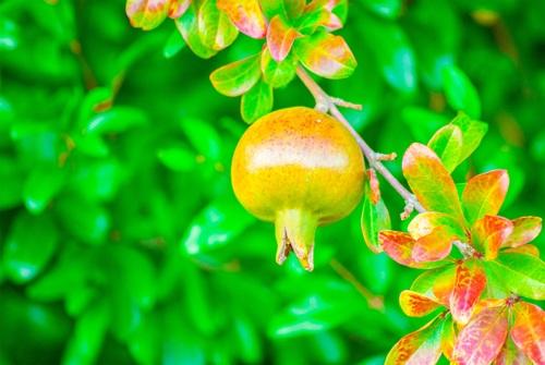 Pomegranate on a branch Stock Photo 06