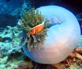 Sea anemone fish Stock Photo 01