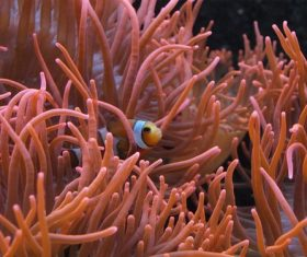 Sea anemone fish Stock Photo 02