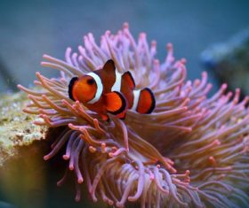 Sea anemone fish Stock Photo 03