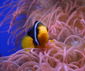 Sea anemone fish Stock Photo 04