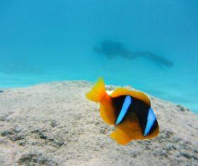 Sea anemone fish Stock Photo 05