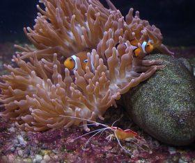 Sea anemone fish Stock Photo 06