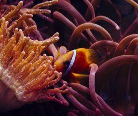 Sea anemone fish Stock Photo 07