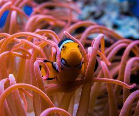 Sea anemone fish Stock Photo 08