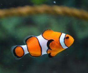 Sea anemone fish Stock Photo 09