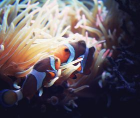 Sea anemone fish Stock Photo 10