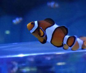 Sea anemone fish Stock Photo 11