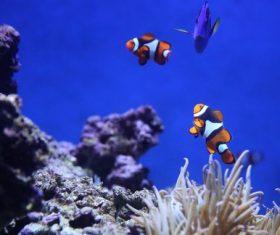 Sea anemone fish Stock Photo 12