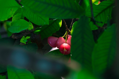 Stock Photo wax apple 05