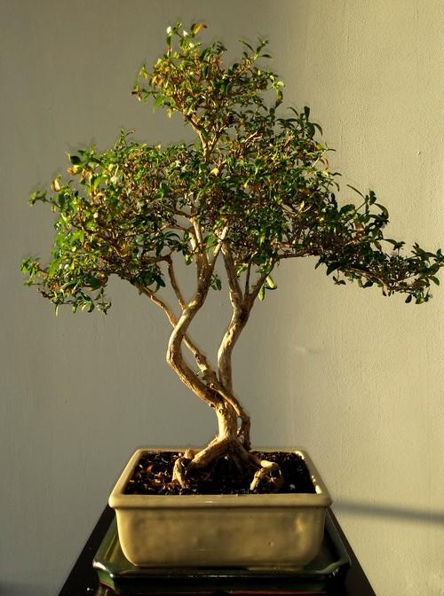 Various good looking bonsai Stock Photo 03