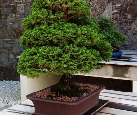 Various good looking bonsai Stock Photo 04