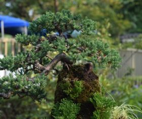 Various good looking bonsai Stock Photo 05