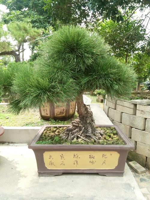 Various good looking bonsai Stock Photo 08