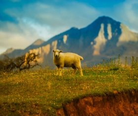 a sheep on the hill Stock Photo