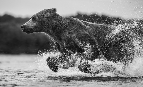 Bear running in the river Stock Photo