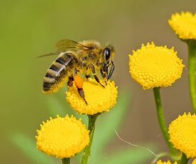 Bees collecting nectar Stock Photo 02