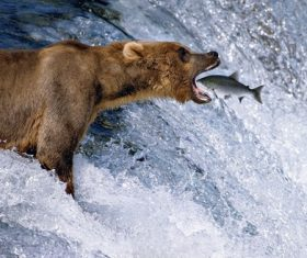 Capture brown bear foraging Stock Photo