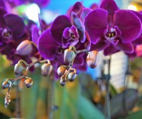 Closeup purple phalaenopsis Stock Photo