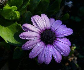 Dew on purple flowers Stock Photo