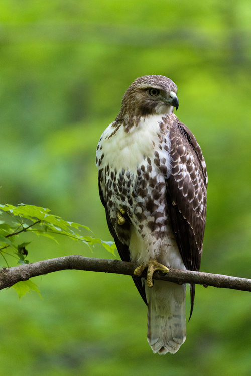 Eagle standing on branch Stock Photo
