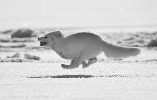 Fast running silver fox Stock Photo
