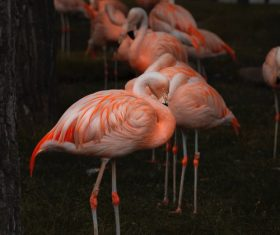 Flamingo at dusk Stock Photo