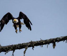 Flying bald eagle Stock Photo 02