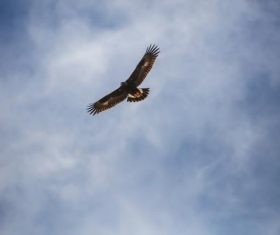 Flying bald eagle Stock Photo 03
