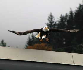 Flying bald eagle Stock Photo 04