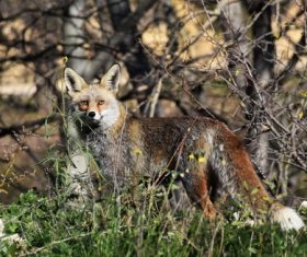Fox in the jungle Stock Photo