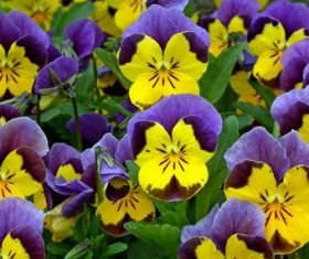 Grimace flower Stock Photo