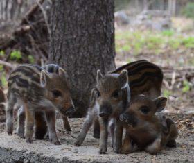 Herd of wild boar cubs Stock Photo