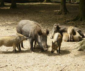 Herd of wild boars Stock Photo