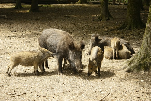Herd of wild boars Stock Photo