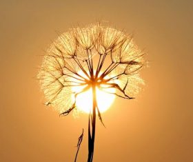Mature dandelion backlighting photography Stock Photo