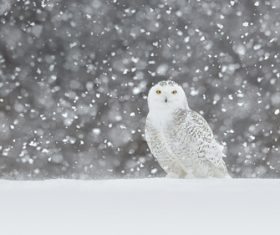 Owl in the wild in the snow Stock Photo