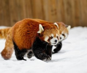 Red panda walking on the snow Stock Photo