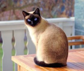 Short-haired Siamese cat Stock Photo 01