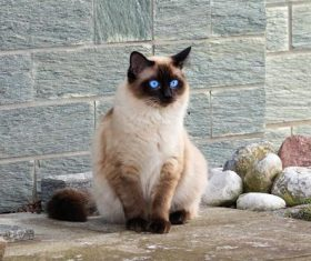 Short-haired Siamese cat Stock Photo 03