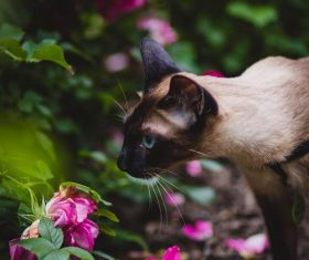 Short-haired Siamese cat Stock Photo 04