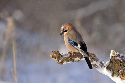 Sparrow on a branch in the snowy day Stock Photo