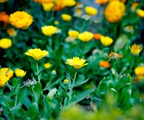 Stock Photo Yellow daisy