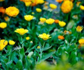 Stock Photo Yellow daisy